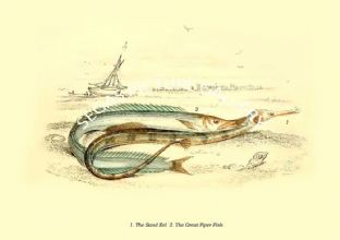 Sand Eel  - Great Piper Fish